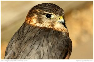 Mervyn the Merlin by In-the-picture