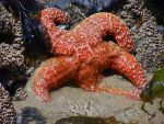 Starfish by gromten