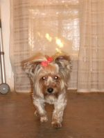 My Champion Yorkshire Terrier-03 by hummingbird88