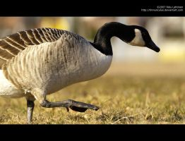 Canada goose 4 by Tinnunculus