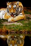 Tiger 21 by Art-Photo