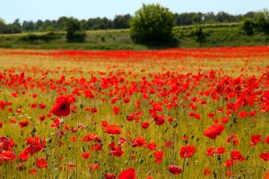 spring poppies by Itapao