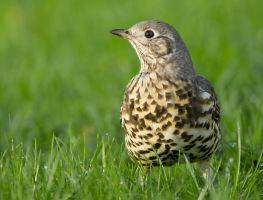 Weary Mistle Thrush by Jamie-MacArthur