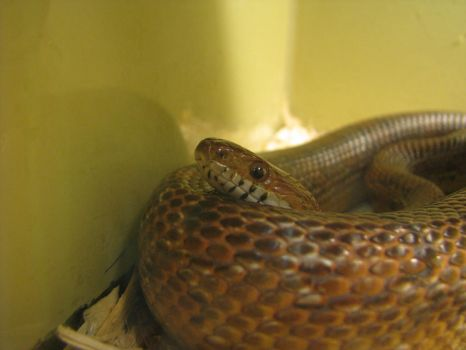 Red Rat Snake by AcrylicHeart