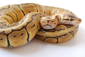 Lemon Blast Ball Python 1 by FearBeforeValor