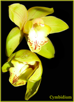 Yellow Cymbidium by FranticMezmer