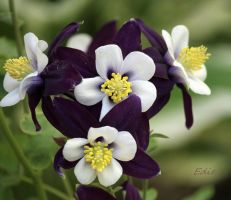 Oh Columbine by 1001G