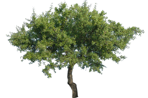 Tree 2 (PNG with transparency) by bupaje