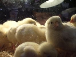 baby chicks by bricket