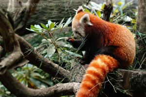 Red Panda by mentaldragon