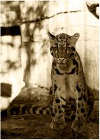 clouded leopard by clayolsonart