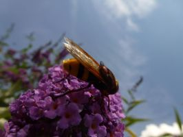 Britain's Biggest Hoverfly - in Front Garden by SrTw