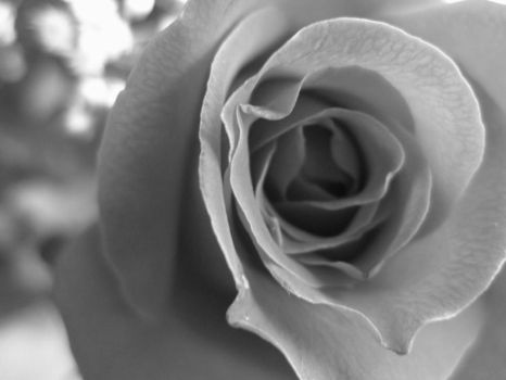 Black and White Rose by effervescency