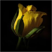 Yellow rose by LiveInPix
