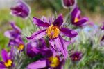 Pulsatilla vulgaris by Angie-Pictures
