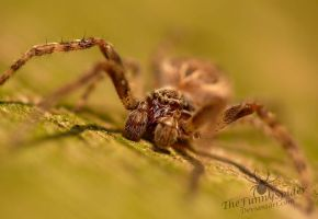 Young Larinioides sclopetarius - male by TheFunnySpider