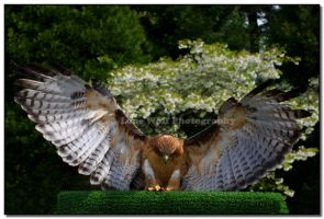 Redtailed Hawk 004 by LoneWolfPhotography