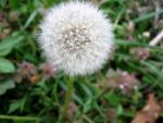 Dandelion 3 by CelticStrm-Stock by CelticStrm-Stock