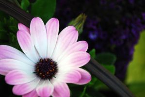Pink and white flower by Hxes