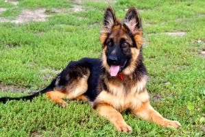 my german shepherd by iLOVEyaa