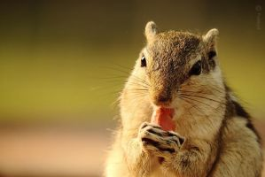 I am fond of peanuts ^^ | Indian Palm Squirrel by Prabhjot-Singh