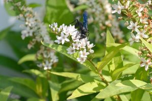 Giant Black Wasp, Sipping Nectar 2 by Miss-Tbones