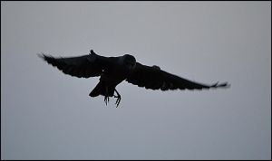 Jackdaw Harrier by FrankAndCarySTOCK