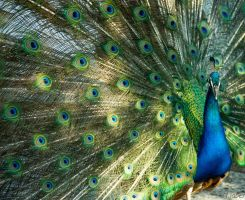 peacock 2 by houssam6464