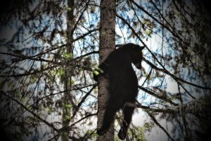 Black Bear hanging about by skip2000