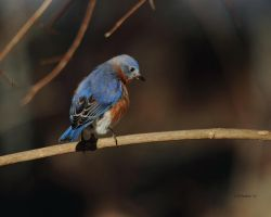 Inqusitive Bluebird by natureguy