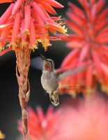 Hummingbird Drinking by The-SixthLeafClover