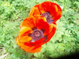 poppies by theresxcfg