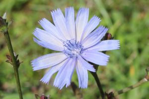 chicory -zoom- by Silent-Utopia