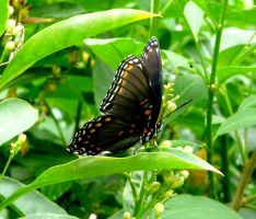 Red-spotted Purple....ventral side by duggiehoo