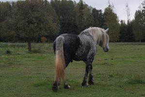 Gray percheron by CitronVertStock
