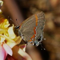 ..Red-banded Hairstreak., by duggiehoo