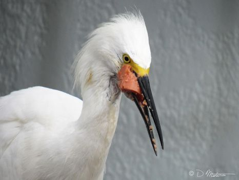 Snowy Egret - Eating Lunch by NatureLense