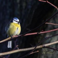 Bluetit by Grandmagoingnuts