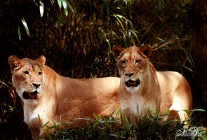 The Lions: Nina and Nada by Silver-Dew-Drop