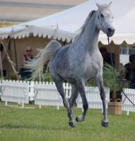 TW Arab dapple grey canter front 3/4 view by Chunga-Stock