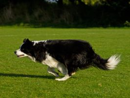 Fetch that ball - Border Collie by davepphotographer