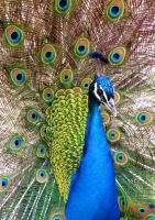 the peacock king by frei76