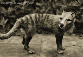 Thylacine by LisaToms