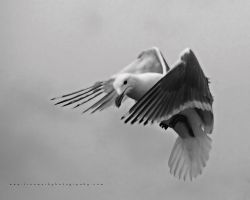 Seagull 02 by andras120