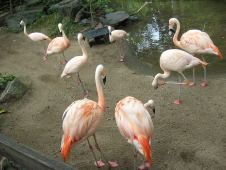 Zoo 30 - Flamingos 4 by sonira-stock