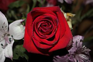 Like a Red, Red Rose by amandaehr