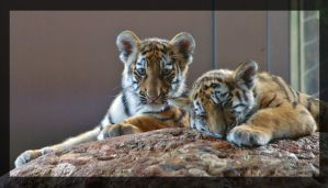 tiger babys by miezbiez