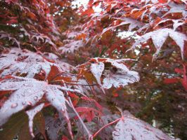 Red Japanese Maple Leaf, Wet. by boxcamera