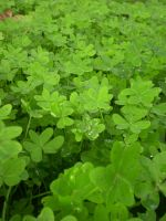 Clovers Growing by SN2