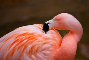 Chilean Flamingo by deseonocturno
